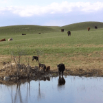 Grass & Winter Tetany: What you Need to Know, What you Can Do
