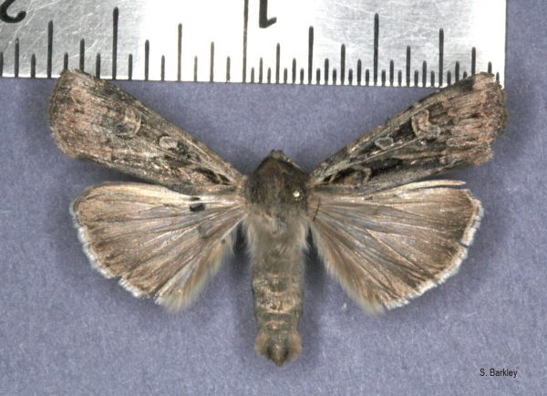 Adult army cutworm collected near Brooks June 8, 2012. Shelley Barkley