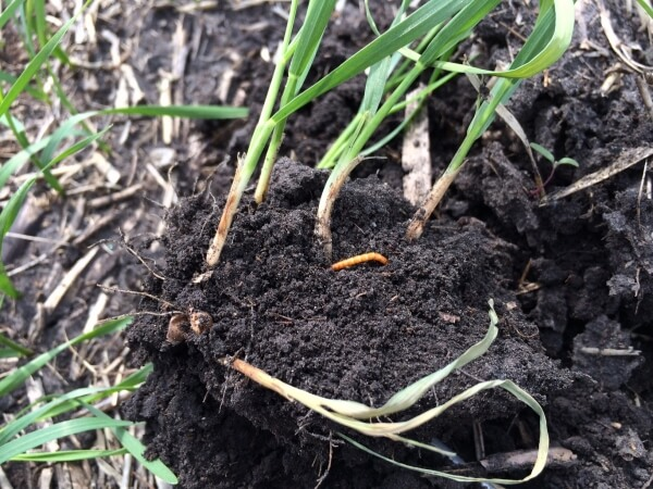 Wireworm in wheat. Photo credit: Richard Marsh, 2014