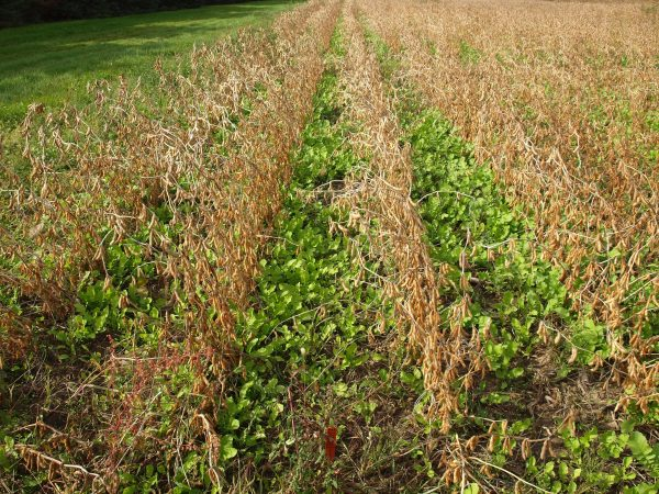 Tillage radish seeded into soybeans at leaf drop. Photo credit: Darren Robinson.