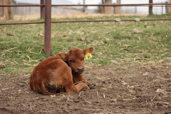 calf with scours