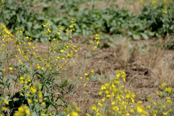 bad canola patchy drought