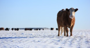cow cattle winter grazing stubble