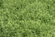 Pulse School: Top 5 Tips for a Great Lentil Crop