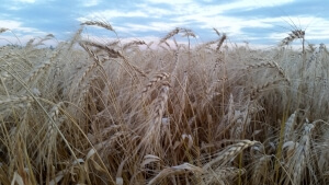 wheat-ripe-carberry