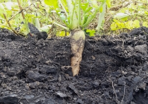 radish-cover-crop-root